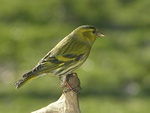 Eurasian Siskin (Carduelis spinus)